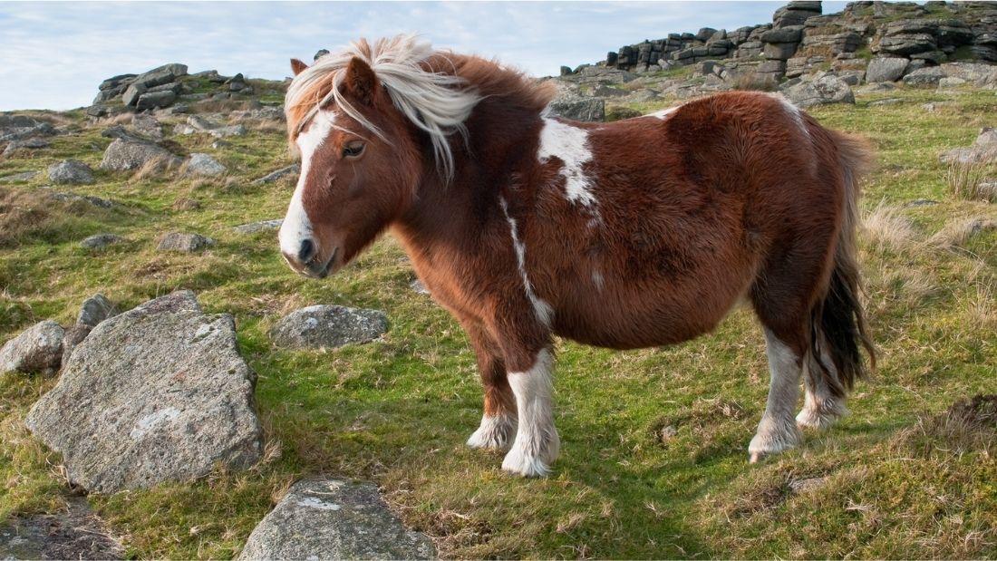 A Dartmoor pony on Dartmoor