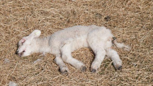 Dead lamb