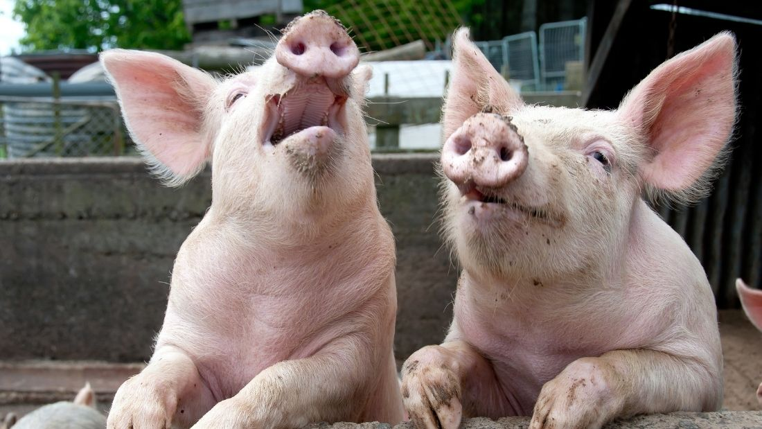 Two happy pigs with legs up on a fence