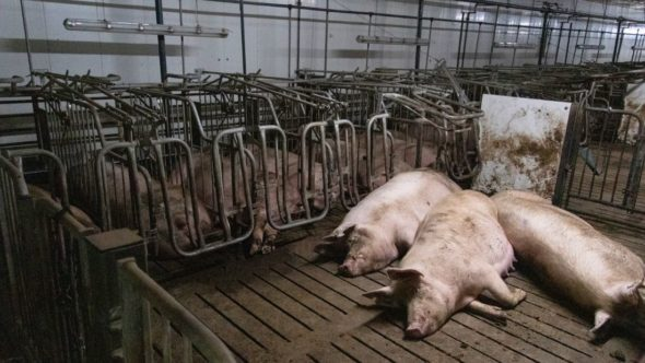 Sows in insemination unit