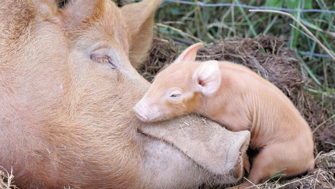 Mother sow with piglet sleeping on her nose