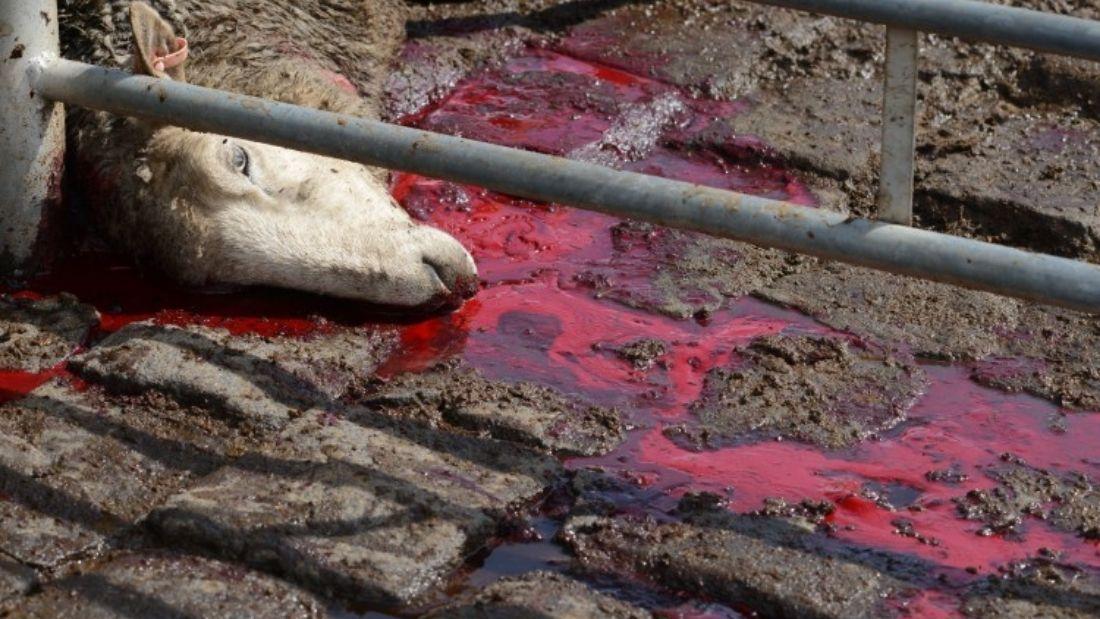 Slaughtered sheep
