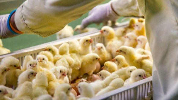 Chicken hatchery