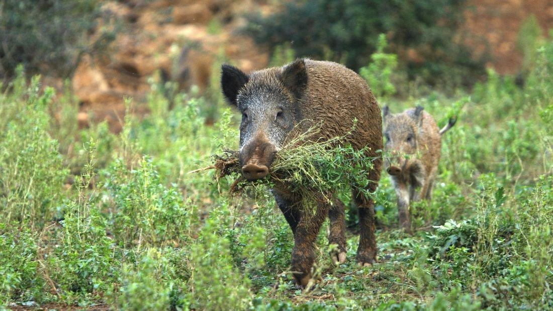 Wild boar carrying grass