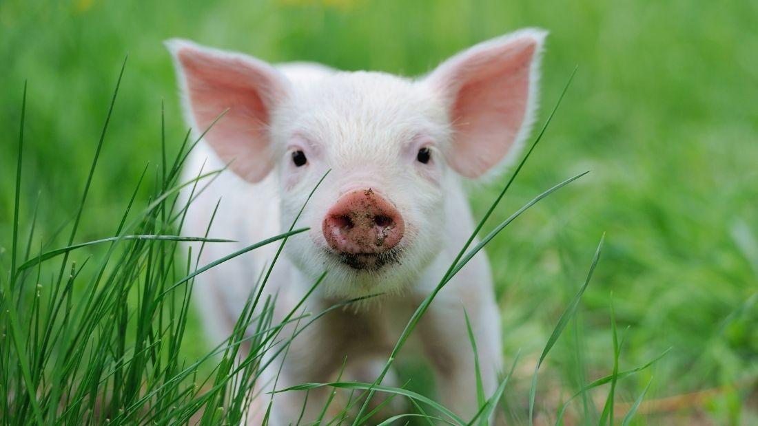 Lovely piglet