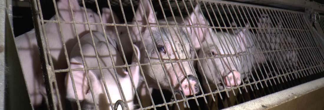 Piglet cages