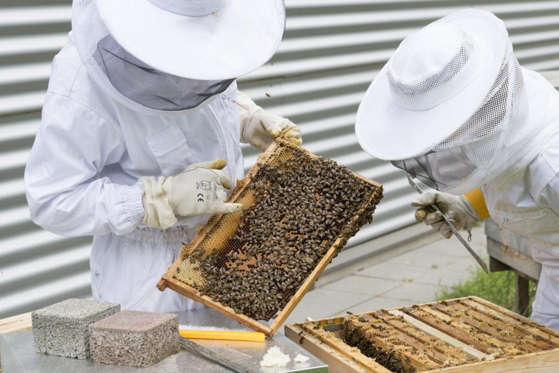 Honeycomb shelf extracted by beekeepers
