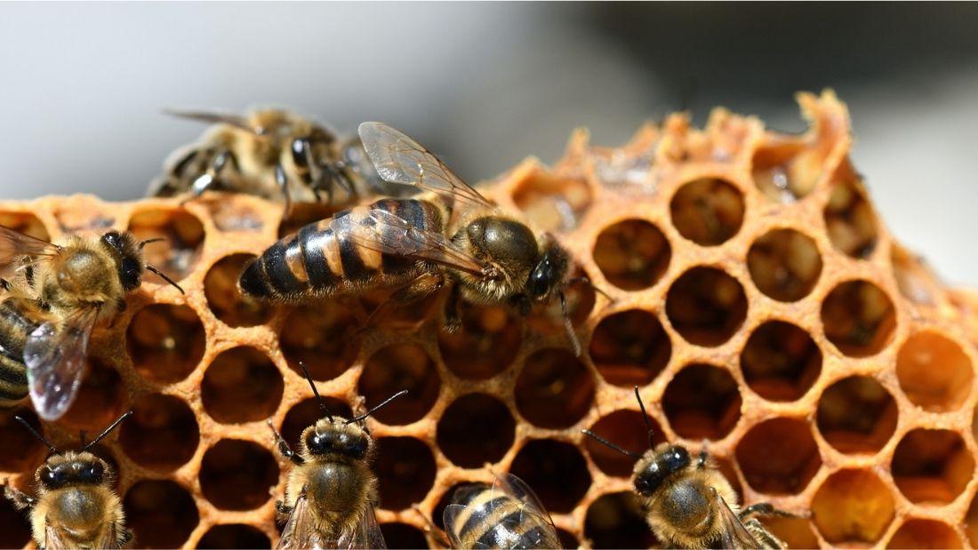 Queen bee on honeycomb