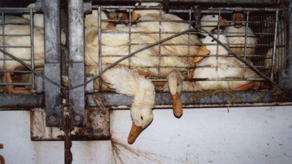 duck transport