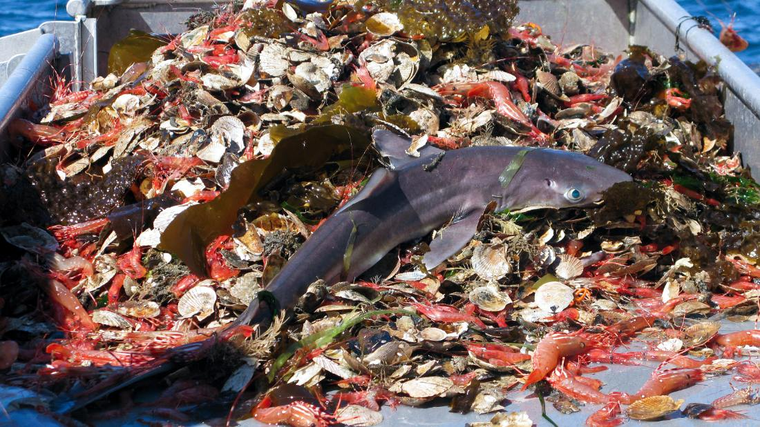 bycatch from lobster fishing