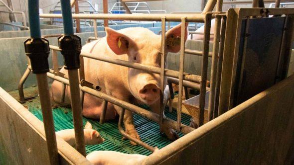 Calvesley Farm pig