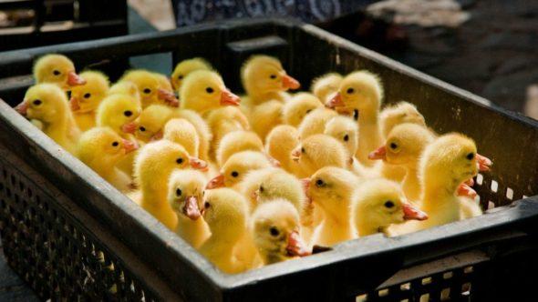 Ducklings breeding
