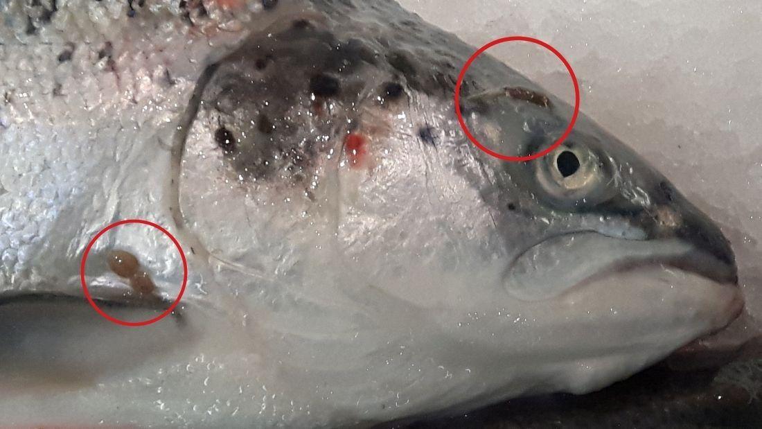 Sea lice on Scottish salmon