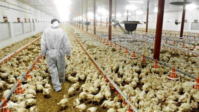 Person in disease control suit walking through bird factory farm