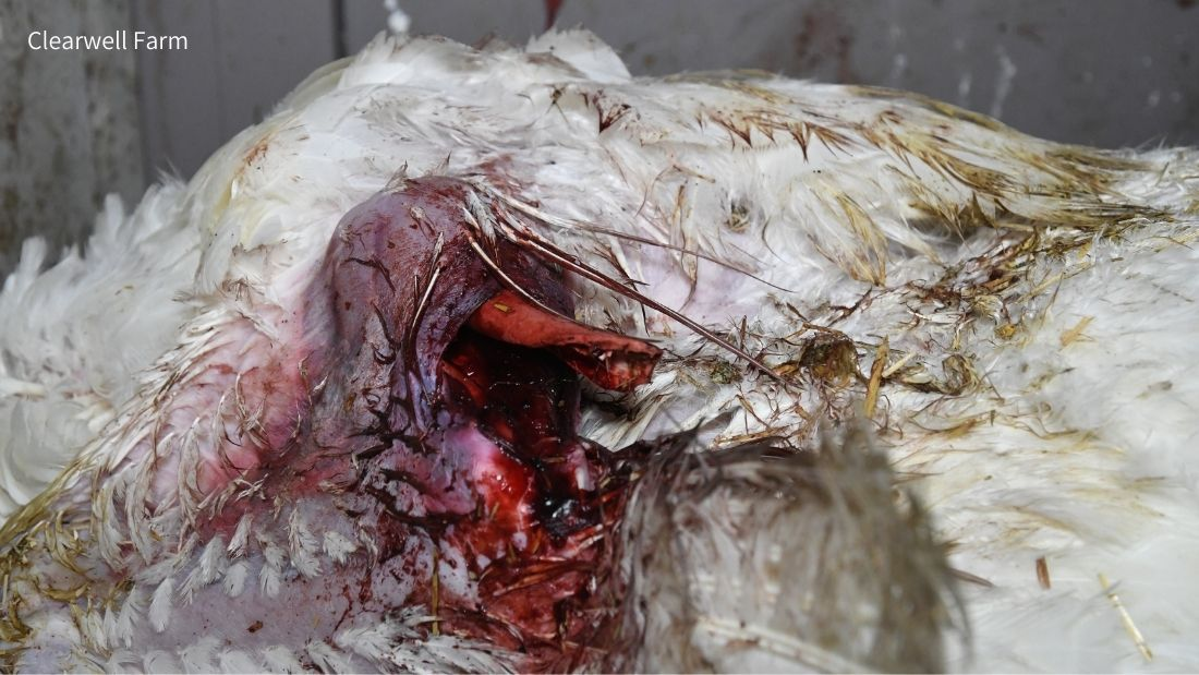 Culled turkey with broken wing at Clearwell Farm
