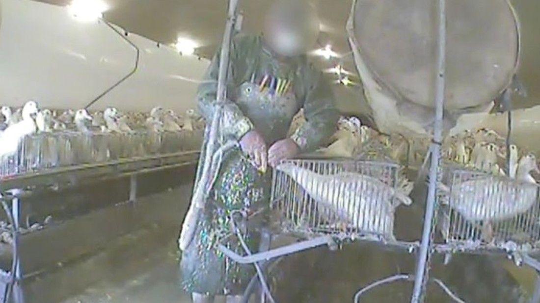 worker force feeding a duck at a foie gras farm