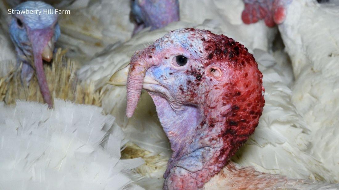 Severely pecked turkey at Strawberry Hill Farm