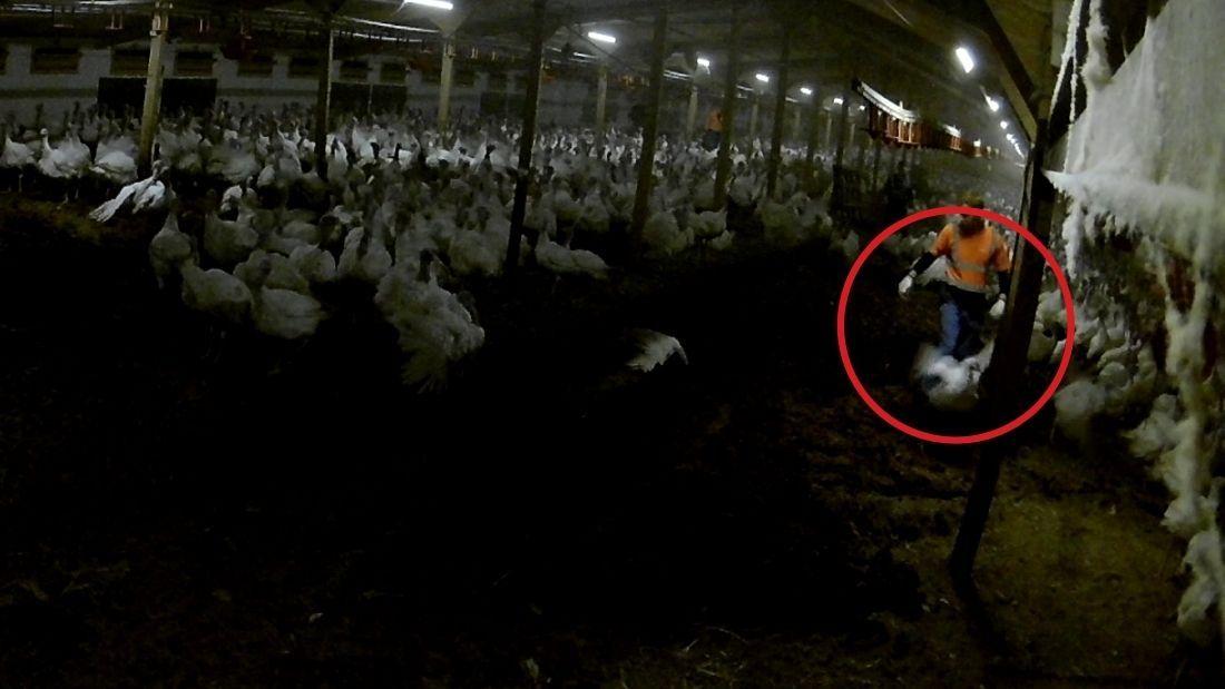 Worker kicking turkey at Strawberry Hill Farm