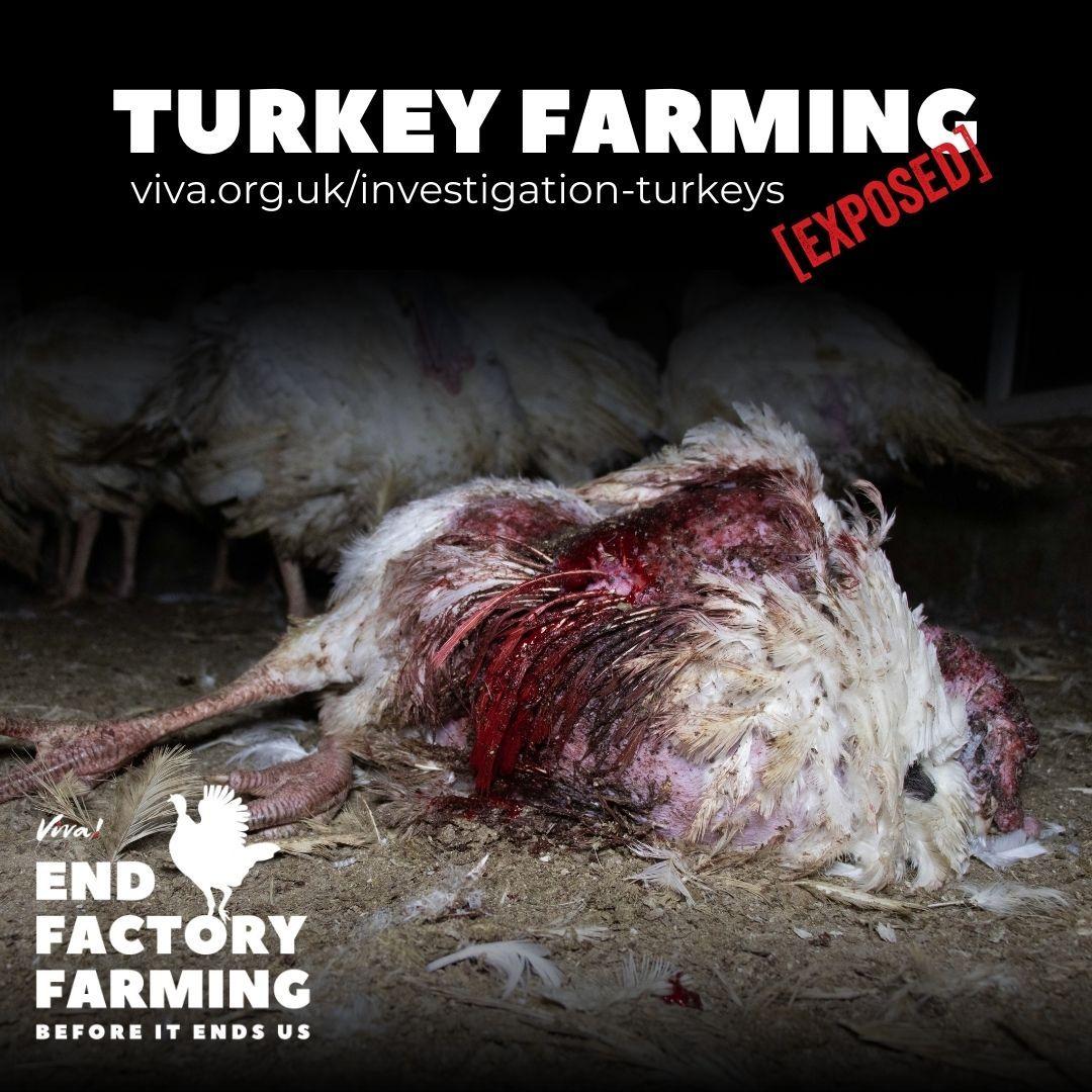 Injured Turkey at Strawberry Hill Farm
