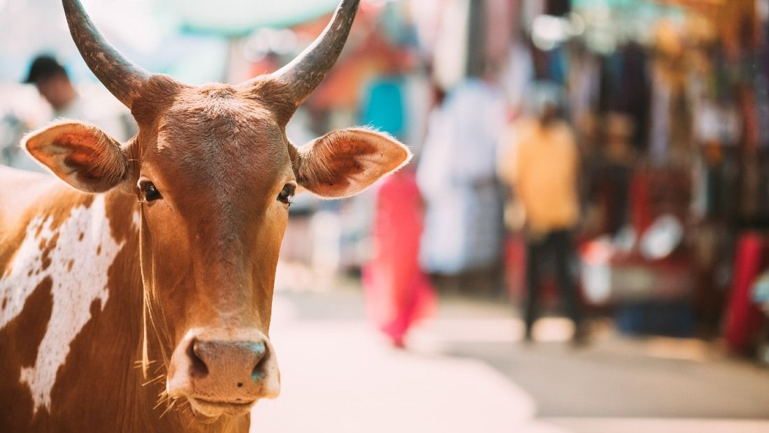 cow in indian market