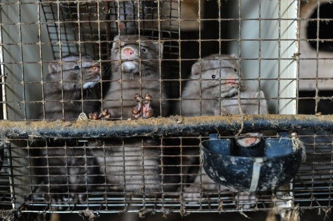 mink in dirty cage