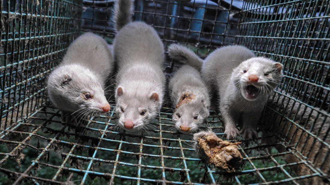 minks in crowded cage
