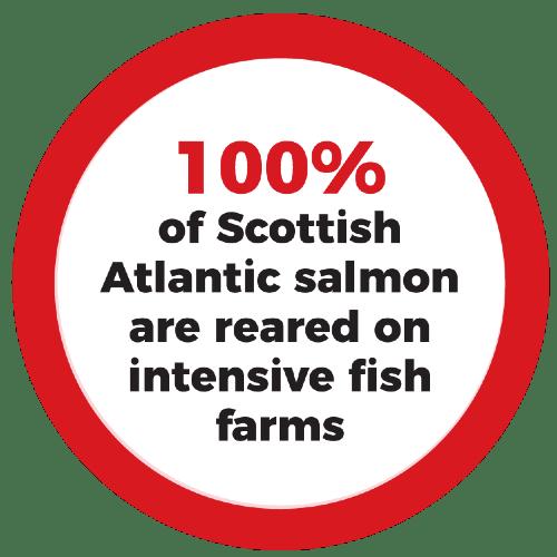 100% of Scottish Atlantic salmon are reared on intensive fish farms