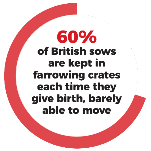 60% of British sows are kept in farrowing crates each time they give birth, barely able to move