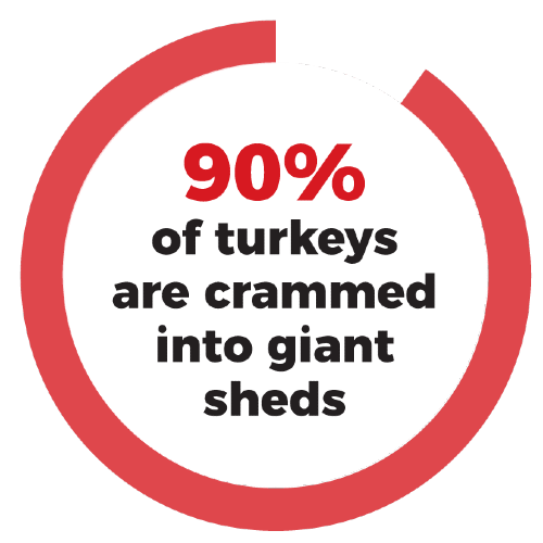 90% of turkeys are crammed into giant sheds