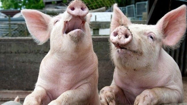 two happy pigs