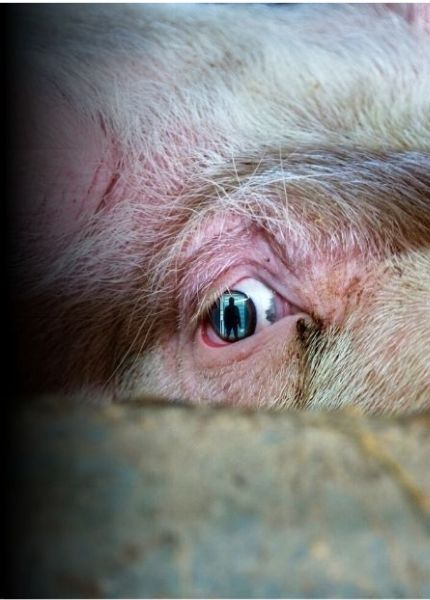 Close up picture of a pig's eye