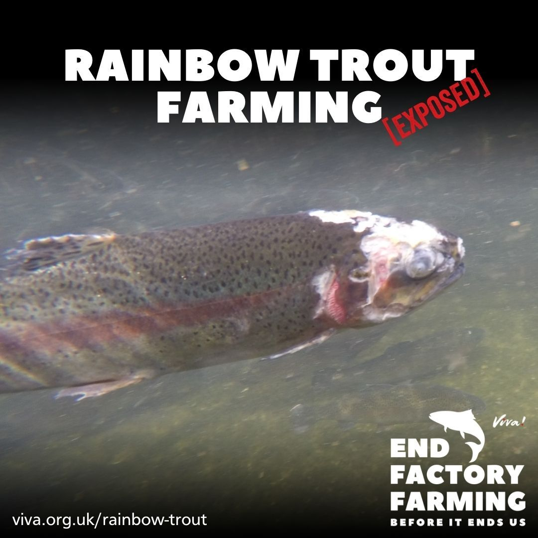 Injured rainbow trout