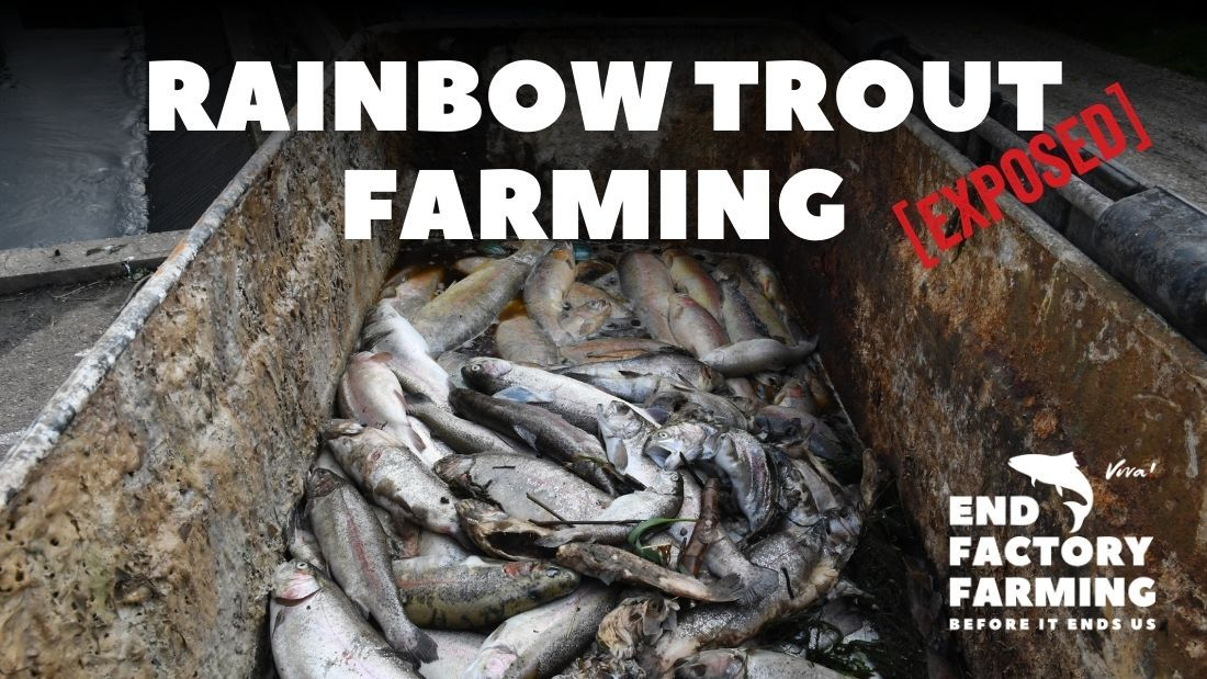 Trout invesitgation