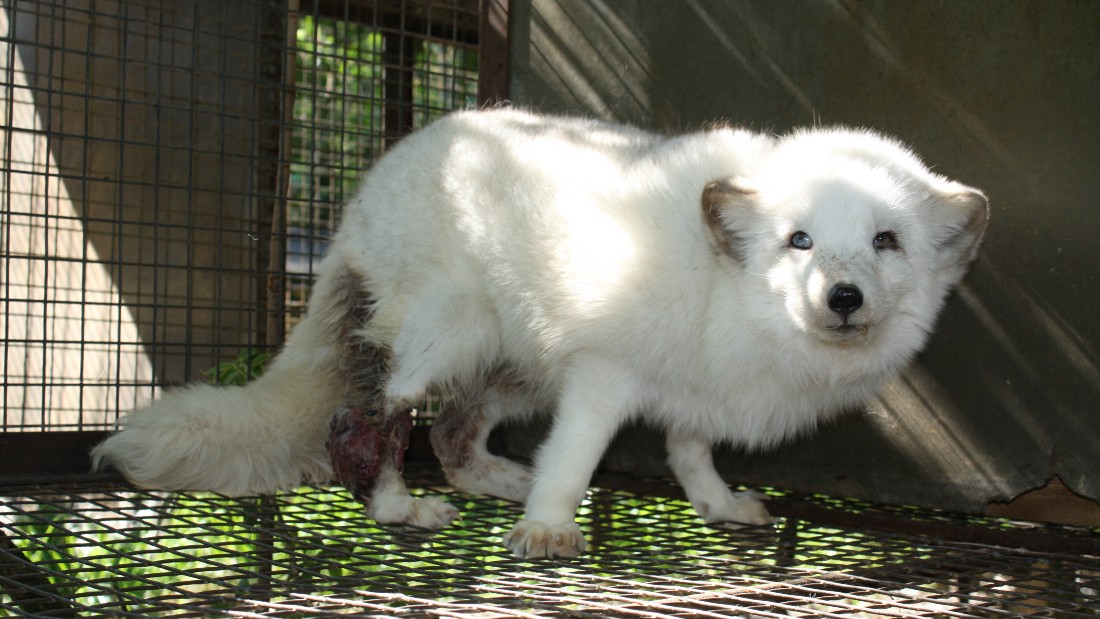 arctic fox with injured leg