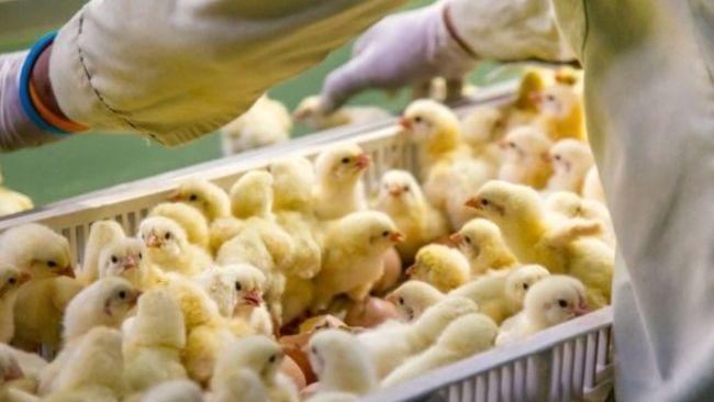 freshly hatched chicks