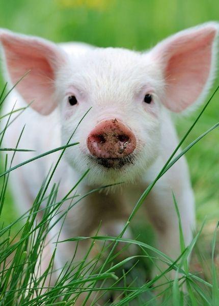 piglet in grass