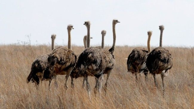 south africa ostriches