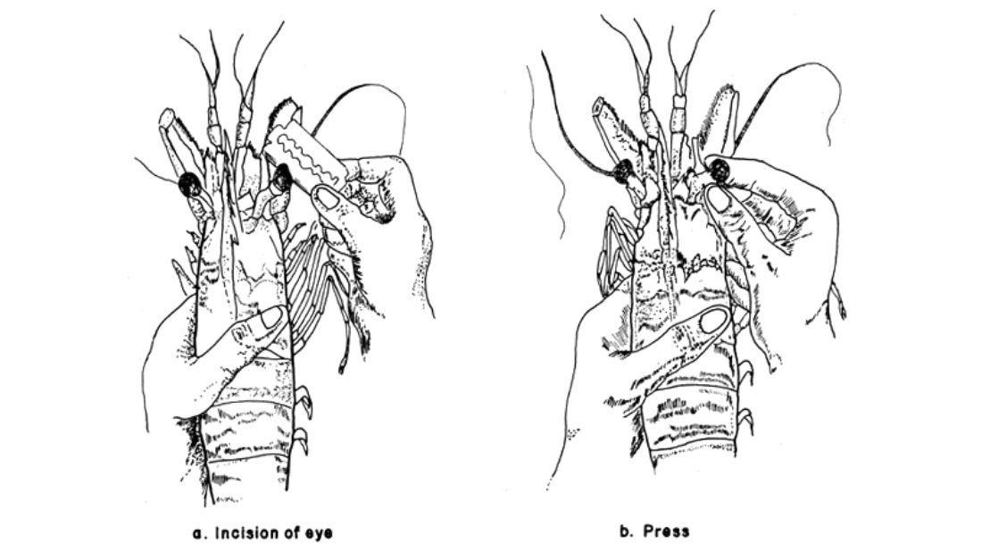 Eyestalk ablation