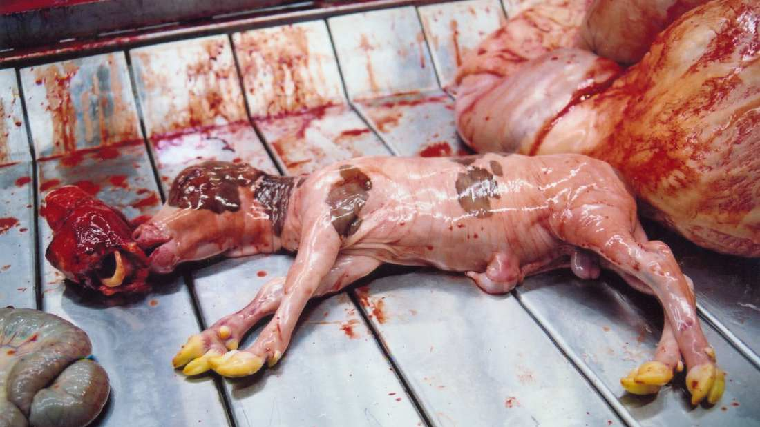 a bloody calf foetus