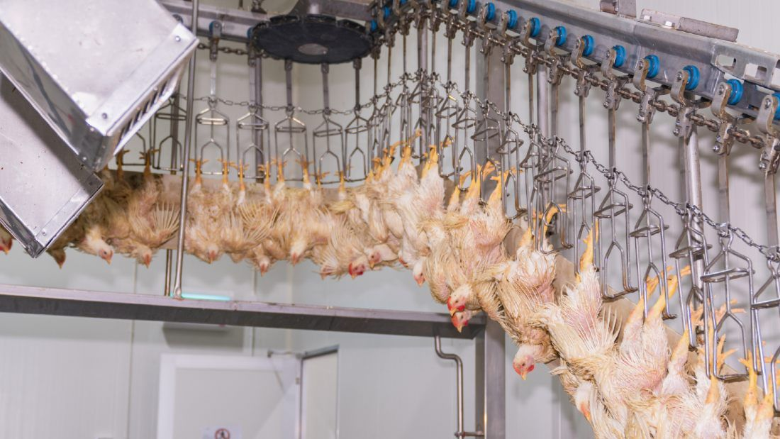 chickens being processed through a slaughterhouse hanging by their feet upside down