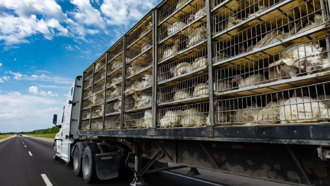 low angle and rear view of a transportation turkey truck on the roads, lot of white turkeys in cages, The process of transporting poultry from the farm to the slaughterhouse.
