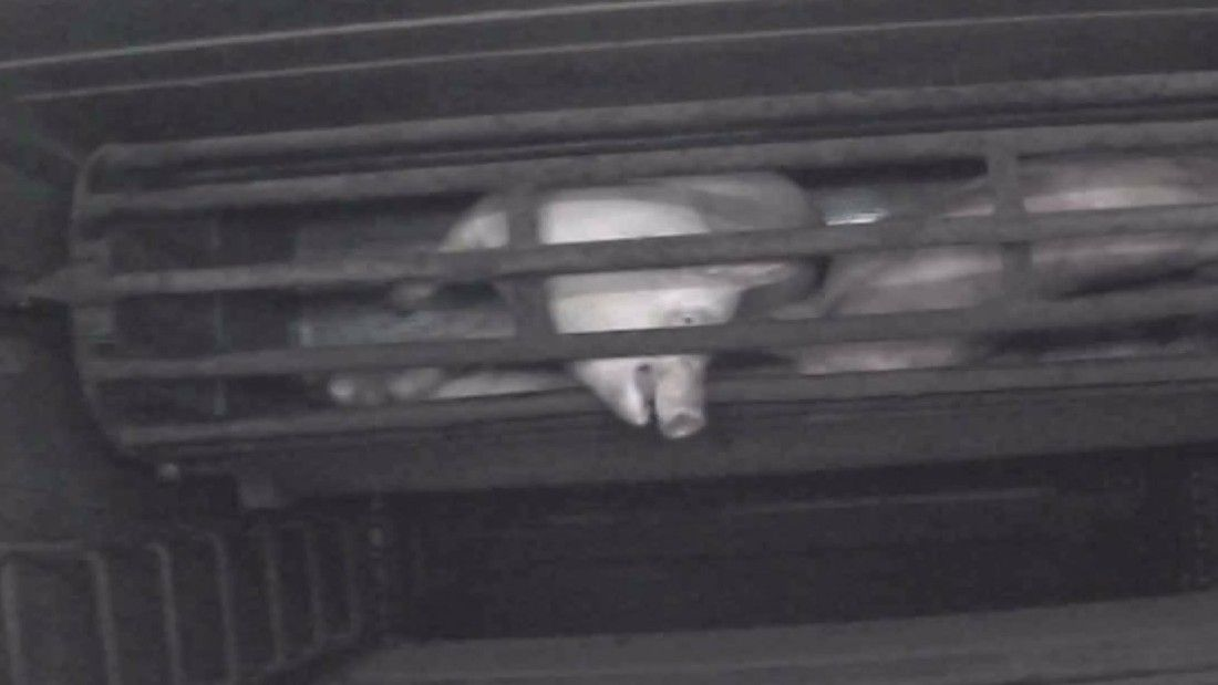 pig screaming in gas chamber