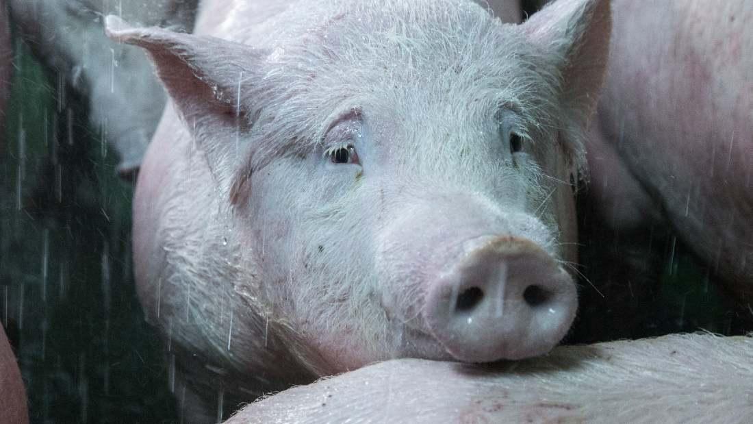 sad looking pig