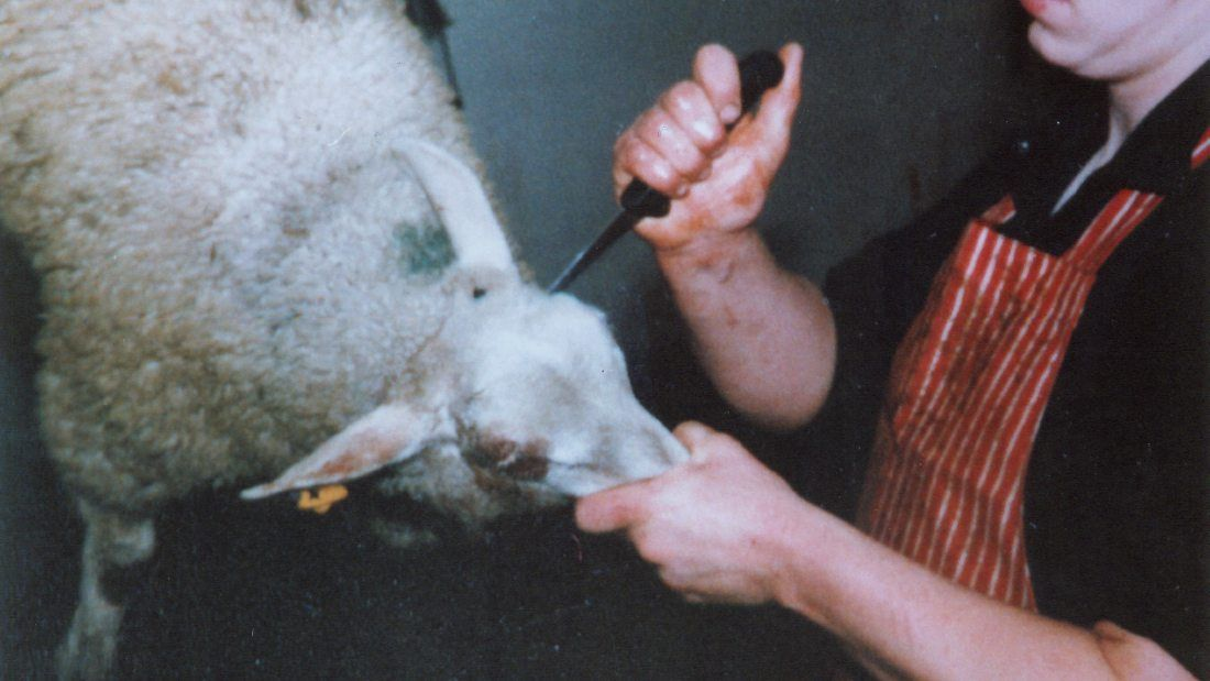 sheep being stabbed in the side of their head