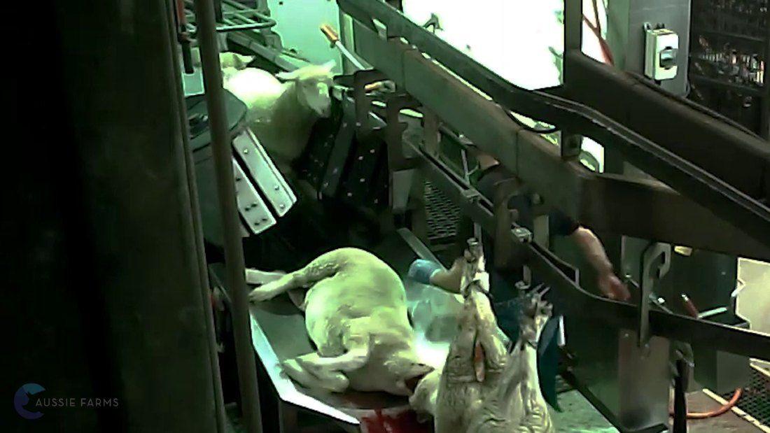 sheep on slaughter line conveyor belt