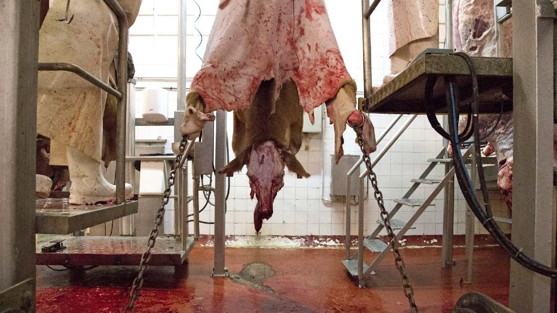 a slaughtered chained up cow being skinned