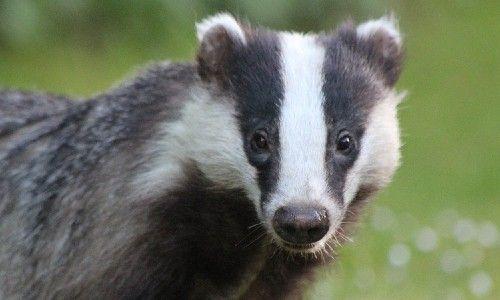 closeup of a badger