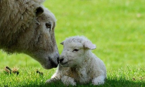 sheep being affectionate with their lamb