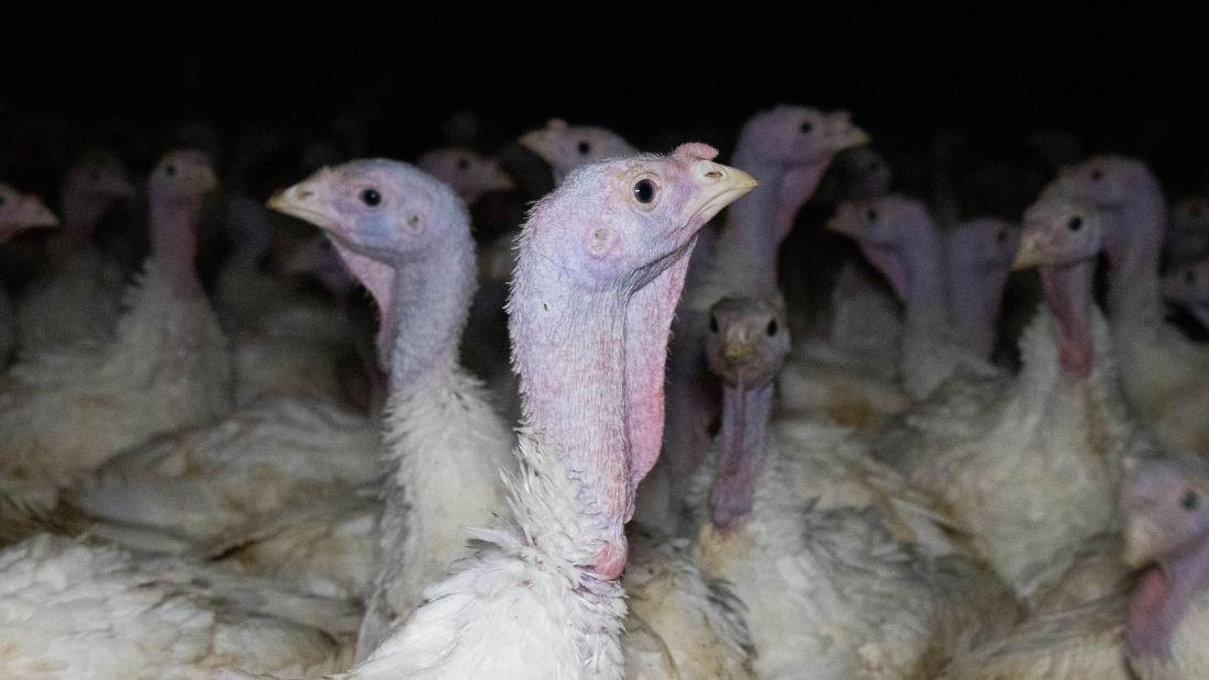 Crowded turkeys on Clearwell Farm