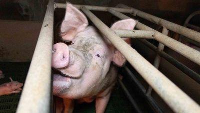 Pig in farrowing crate